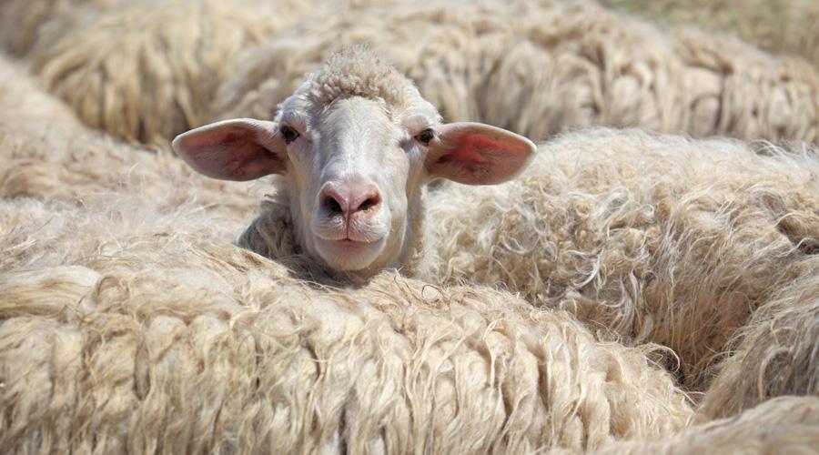 Responsible Wool Standard Bans Mulesing
