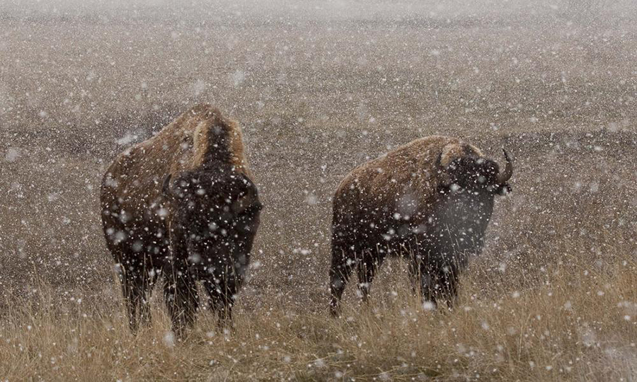 Surviving Winter : Bison Of Yellowstone National Park