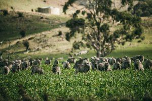 Happy sheep growing Ortovox wool